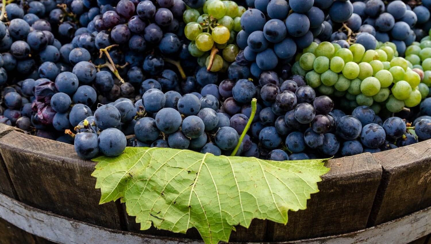 Crush wine grapes with your feet at the Calaveras Grape Stomp!