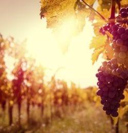 Vineyard at autumn harvest.