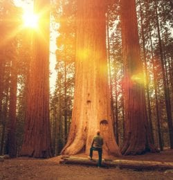 sequoia trees are just one of the things you can see while hiking in murphys ca