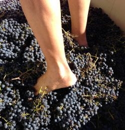calaveras grape stomp
