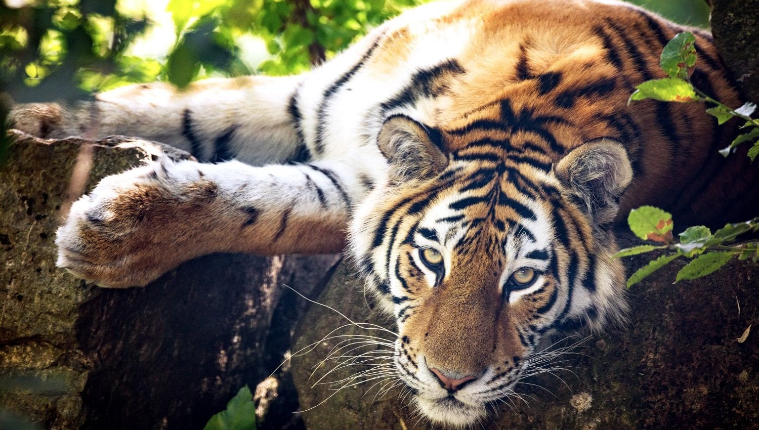 Tiger lying on a branch in a tree