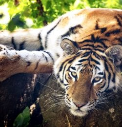 a tiger lying on a branch in a tree